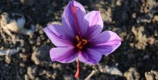 'Mucize bitki' çiçek açtı