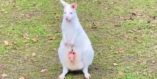 Kocaeli'de dünyaya gelen minik kanguru kesesinden çıktı
