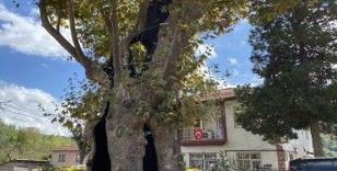 Rum çetelerin işkencelerine tanıklık eden 8 asırlık 'işkence ağacı'