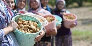 Türkiye, kuru incir ihracatından 256 milyon 915 bin dolarlık gelir elde etti