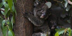 Avustralya'da 400 koala klamidyaya karşı aşılanacak