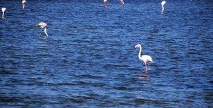 Aliağa'da flamingoların görüntüsü hayran bırakıyor